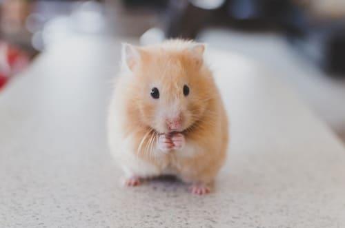 hamster para niños